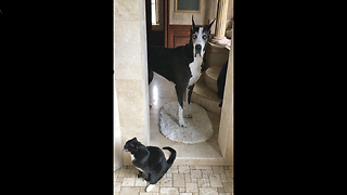 Cat and Great Dane take shower together