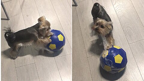 Energetic Yorkie can't wait to unwrap new soccer ball