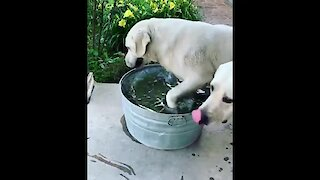 Labrador bathes and drinks water at the same time