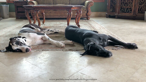Harlequin and Black Great Danes Love Sleeping Side By SIde
