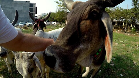 Kindly tourist takes pity on hungry stray cows in India