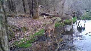 Playful Deer Leaps in the Air in Ontario, Wisconsin - Video