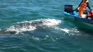 Grey Whale Peeks Through The Water To Greet Whale Watchers - Video