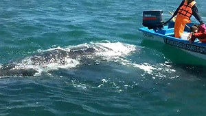 Gray whale swims up to motorboat in Mexico - Video