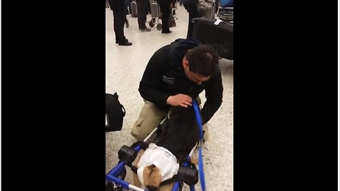 Paralyzed dog greets owner at the airport