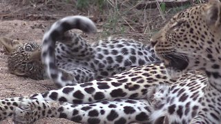 Naughty leopard cub spotted chewing his mum's tail