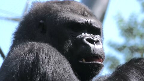 Eastern Lowland Gorilla Amahoro Makes It Look Easy To Get To The Leaves