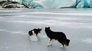 Talented Border Collie Shows Off Olympic Curling Skills - Video