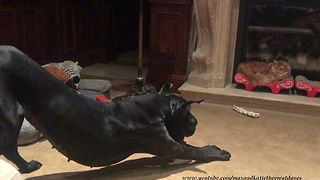 Great Dane bounces and barks at cat to play