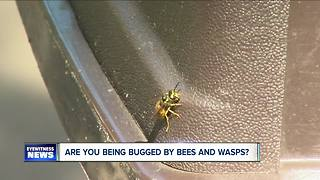 Large numbers of yellow jackets - Video