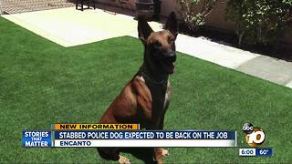 San Diego Police dog stabbed in Encanto - Video