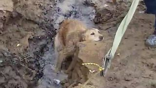 Missing Dog Found Trapped In Muddy River Bank Gets Heroic Rescue - Video