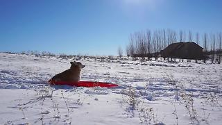 Derby the corgi sleds like a boss - Video
