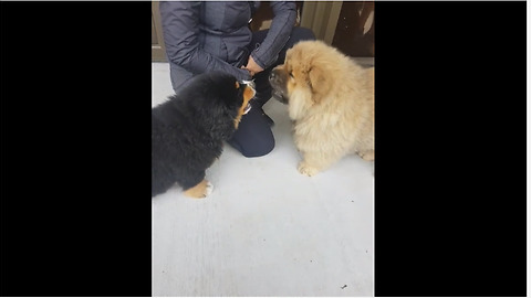 Two puppies have adorable barking competition