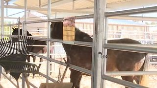 Neighbors surprised after horses, other animals taken from home - Video
