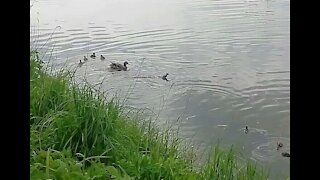 Duck chases away a duckling