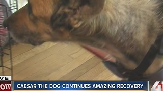 Caesar the dog continues amazing recovery