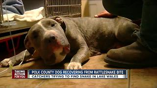 Rattlesnake bites pit bull in the face in Lake Wales neighborhood - Video
