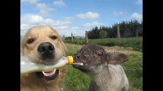 Golden retriever feeds lamb - Video