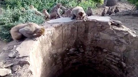 Inquisitive monkeys save life of drowning leopard trapped in 25ft well