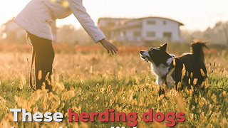 Border Collies Are a Super Smart Dog Breed - Video