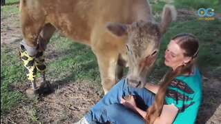 Amputee Cow Named Hero Inspires In Moo Ways Than One