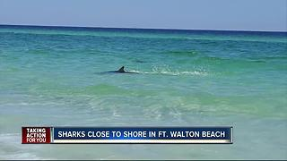 Multiple sharks spotted very close to Okaloosa Island in Florida - Video