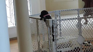 Puppy Makes Great Escape To Join Doggy Friends - Video