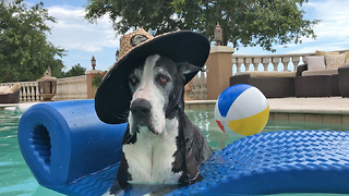 Hat Wearing Great Dane Chills Out in the Pool  - Video