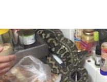 Snake Catchers Remove 8-Kilogram Bloated Snake From Kitchen - Video