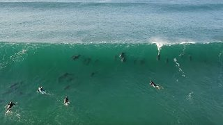 Dolphins Join Surfers at South African Beach