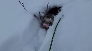 Ferret sees heavy snowfall as one giant playground - Video