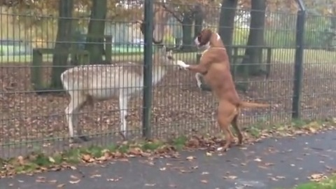 Enthusiastic boxer really wants to befriend deer