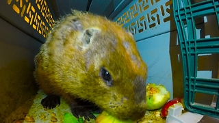 Loud lip-smacking groundhog will capture your heart - Video