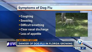 Dangers of dog flu growing in Florida - Video