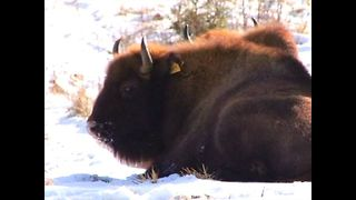 Lonely bison get new friends - Video