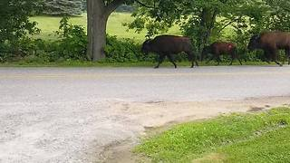 Herd of Bison Spotted on the Loose After Escaping Local Farm - Video