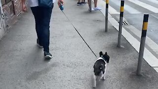 This dog has a truly unique way of walking