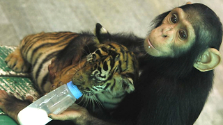 Chimp Bottle Feeds Tiger Cubs - Video