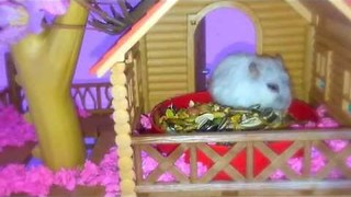 Hamster Plays Own Version of Hunger Games - Video