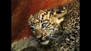 Abandoned Leopard Cubs Found In Well - Video