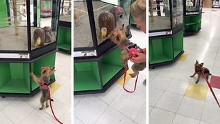 Adorable moment Yorkshire Terrier refuses to leave pet store so it can stay with new parrot friend - Video