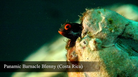 BLENNY LOVERS (Part 1)