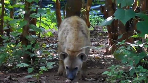 Curious hyena really wants to investigate camera