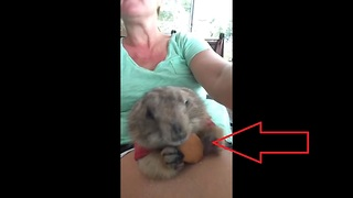 Prairie Dog Eats Vanilla Wafer From Owners Lap For The First Time - Video