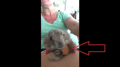Prairie Dog Eats Vanilla Wafer From Owners Lap For The First Time