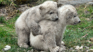 Polar Bear Story: Nobby and Nela - Video