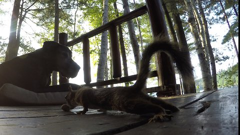 Cheeky squirrel sneaks peanuts in front of blind Great Dane