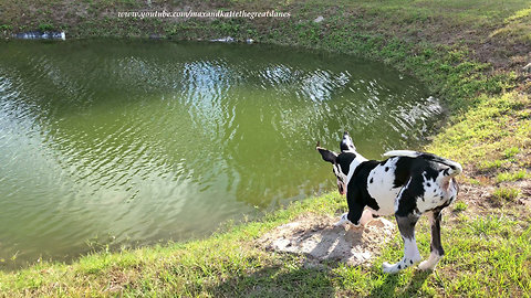 Funny Great Dane Puppy Digs for Florida Moles