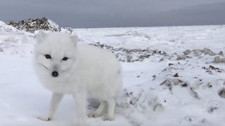 Incredible footage shows friendly Arctic fox greeting explorers